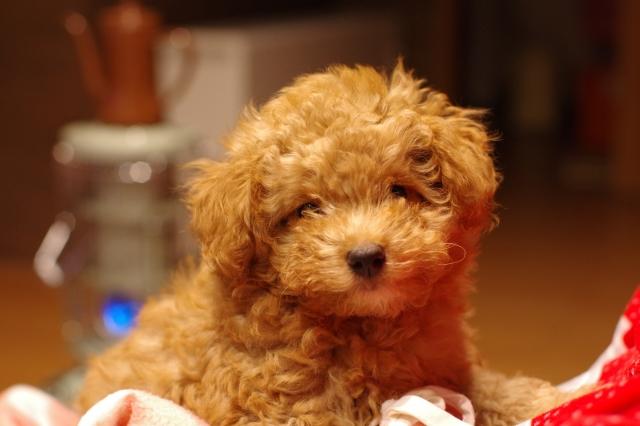 【手越祐也】新しい家族犬のティファ!種類と値段はいくら?